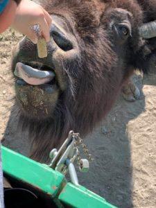 Child feeding a bison