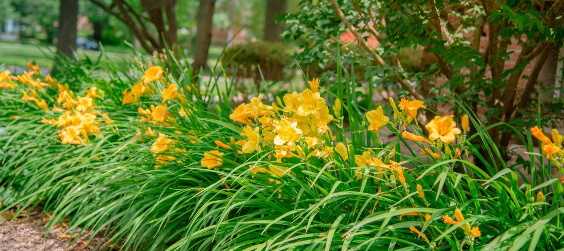 Close up view of yellow daffodils and greenery